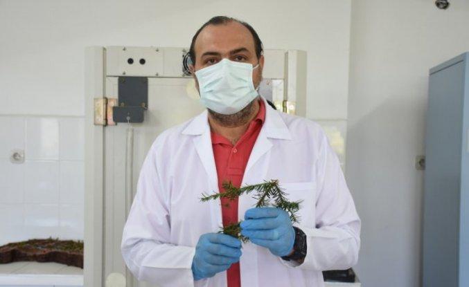 Porsuk ağacında kanser hücrelerini küçültüp yok eden ilaç bileşiği tespit edildi