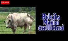 Belçika Mavisi Özellikleri