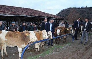 Tosya'da, genç çiftçilere 45 baş düve dağıtıldı