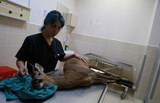 Köpeklerin yaraladığı karaca tedavi ediliyor