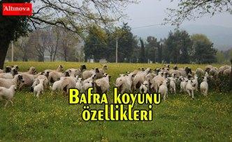 Bafra koyunu özellikleri