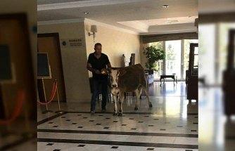 Sinop'ta sıcaktan bunalınca otele giren inek ilgi çekti