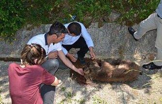 Yolda yaralı bulunan ayı yavrusu tedavi altına alındı