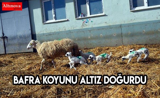 Bafra koyunu altız doğurdu